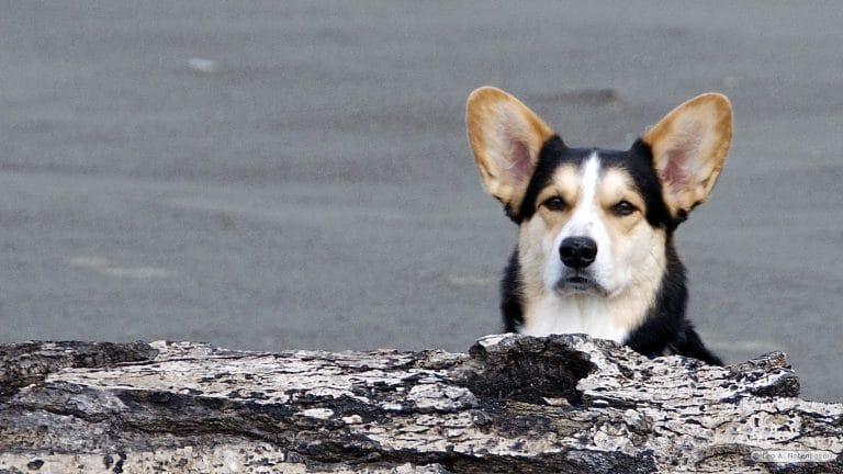 Chester the log dog